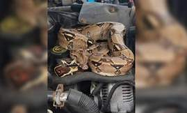 boa-constrictor-in-stoughton-1534011557